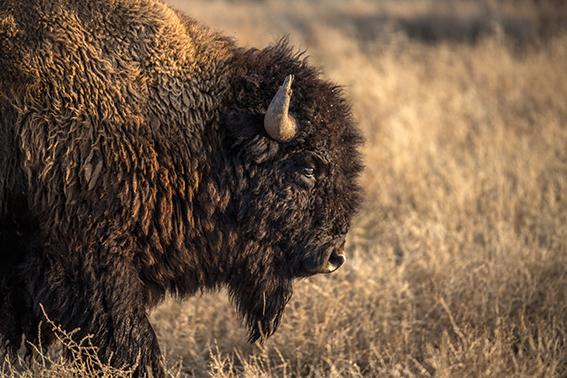 Primer plano de un macho joven de bisonte de la manada del Rancho El Uno (Chihuahua, México). Foto: AES México / Sergio Izquierdo.