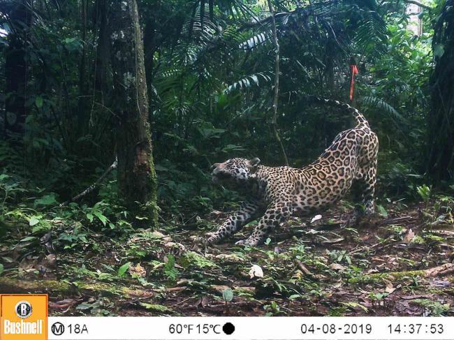 Imagen de fototrampeo de un jaguar (foto: WWF).