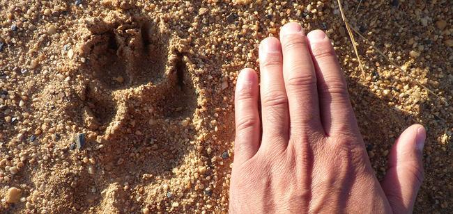 Huella de lobo comparada con una mano humana (foto:Llobu).