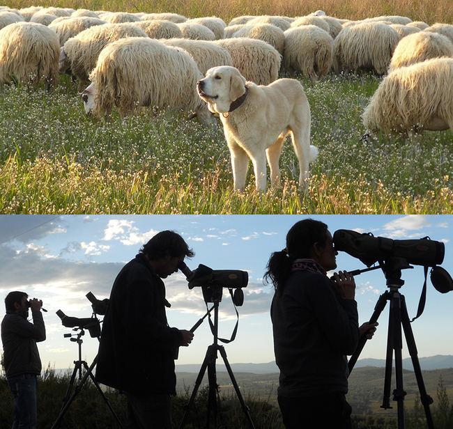 Arriba, perro mastín con un rebaño de ovejas. Abajo, naturalistas en una espera del lobo en la Sierra de la Culebra (Zamora). Fotos: Llobu.