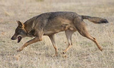 Lobo ibérico en condiciones de semicautividad (foto: Carlos Delgado / Wikicommons).