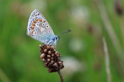 Ejemplar de mariposa ícaro (Polyommatus icarus). Foto: Marjan Postma / Wikicommons.