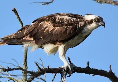 Los científicos encontraron microplásticos en diferentes aves rapaces, como el águila pescadora de la imagen (foto: Linda Walters, Universidad de Florida Central).
