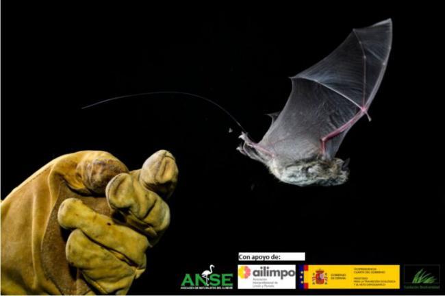 Murciélago ratonero patudo en el que se aprecia el emisor de radio (foto: Joaquín Zamora / Ailimpo).