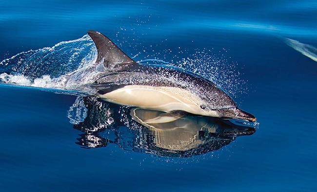 Un delfín común nada sobre la superficie del mar