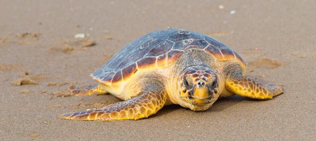Una tortuga boba se desplaza por una playa (foto: Benjamín Albiach Galán / Shutterstock).