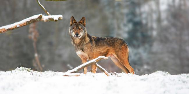 Lobo ibérico en un paisaje nevado (foto: slowmotiongli / Shutterstock).