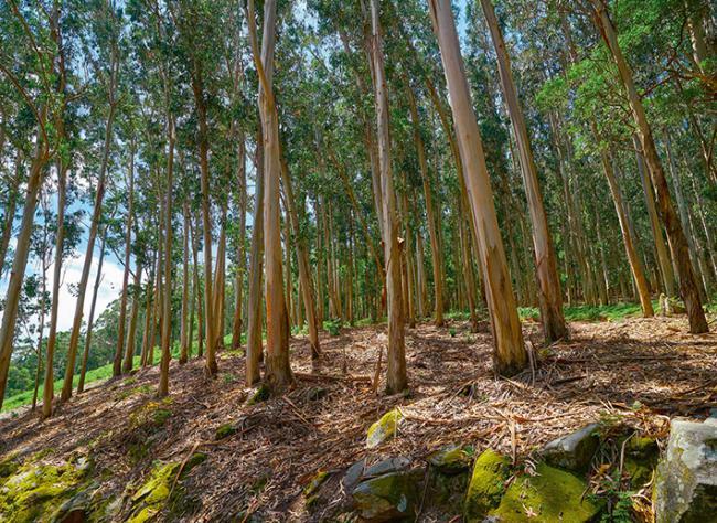 Repoblación de eucaliptos en Galicia (foto: lunamarina / Shutterstock).
