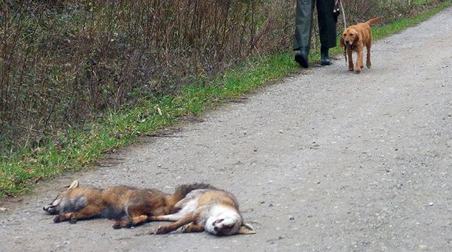 Un participante en un campeonato de caza celebrado en la comarca de Terra Chá (Lugo) se dispone a recoger dos zorros abatidos