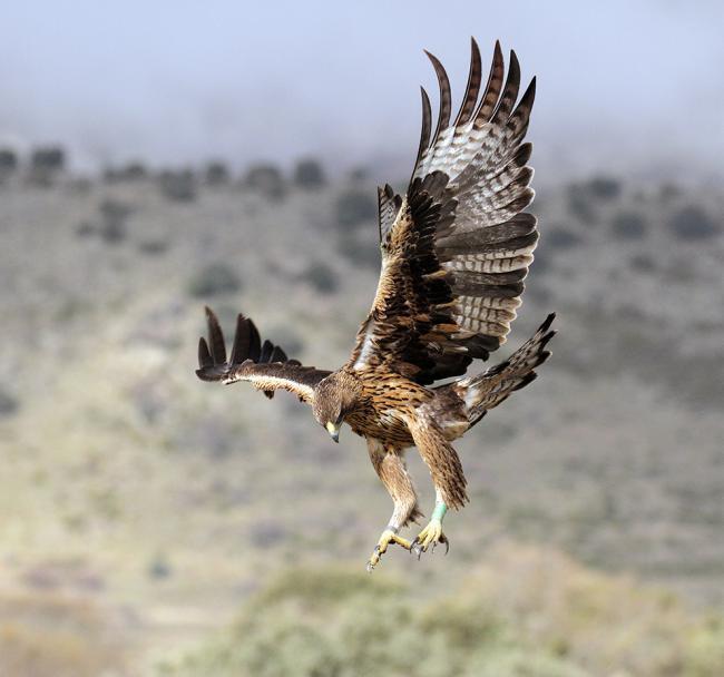 La hembra Alameda es una de las águilas de Bonelli reintroducidas en la Comunidad de Madrid que ha criado con éxito en 2020. En esta foto de archivo tenía aún su plumaje juvenil (foto: Sergio de la Fuente / Grefa).
