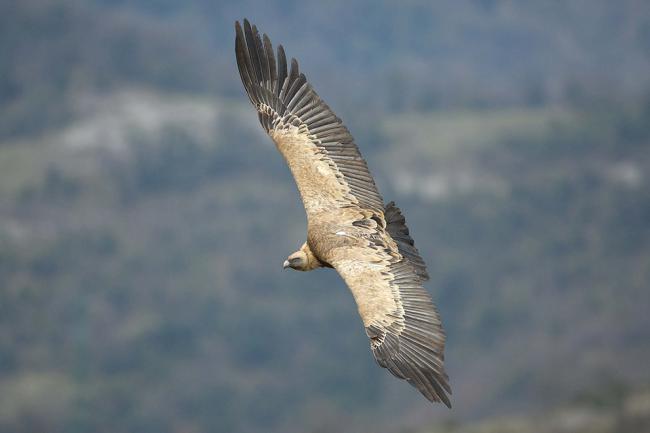 Buitre leonado en vuelo (foto: Joseba del Villar).