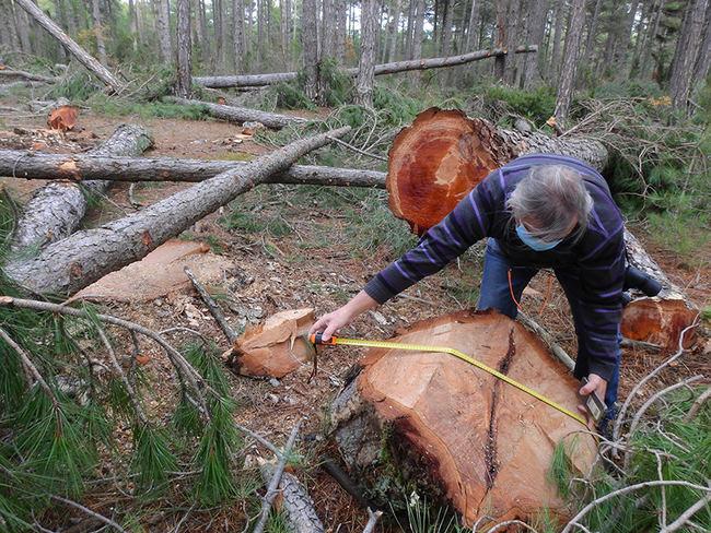 Un naturalista mide el diámetro de uno de los pinos laricios talados en un monte público de la provincia de Castellón donde se ha detectado recientemente al pito negro o picamaderos negro. Foto: GER-EA.