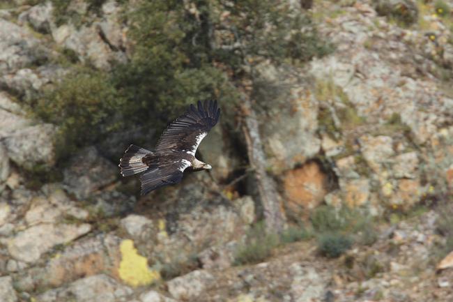 Un águila imperial en vuelo. Esta especie sigue teniendo en los cebos envenenados una de sus grandes amenazas (foto: José Luis Gómez de Francisco).