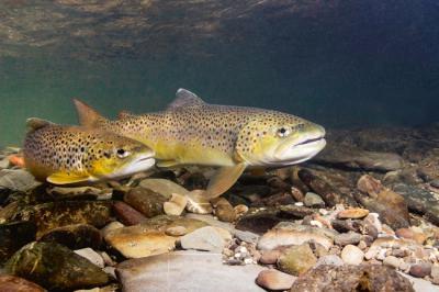 Dos truchas comunes nadan sobre el lecho de un río (foto: Rostislav Stefanek / Shutterstock).