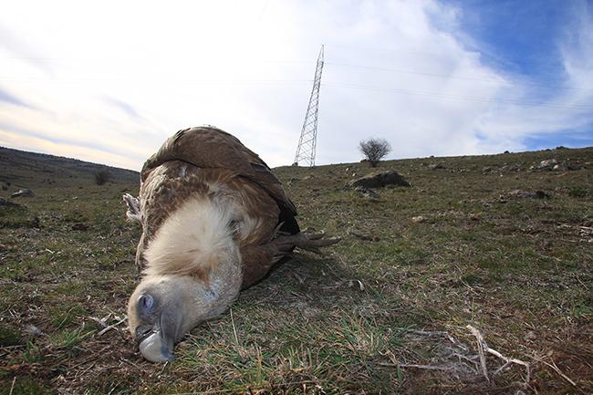"""Cadáver de un buitre leonado cerca del tendido eléctrico particular en Urraca-Miguel (Ávila) que es un """"punto negro"""" de colisión de aves"""