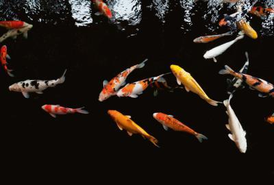 Varios peces koi nadan en un estanque artificial (foto: MR.RAWIN TANPIN / Shutterstock).