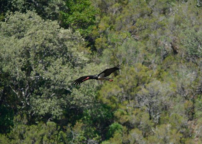 Una cigüeña negra echa a volar desde su nido tras ser objeto de molestias en la Reserva de la Biosfera de las Sierras de Béjar y Francia (Salamanca) durante la temporada reproductora de 2019 (foto: Acuho).