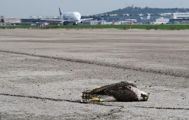 Un joven macho de halcón peregrino yace muerto sobre la pista de la Base Aérea de Getafe tras impactar el pasado mes de marzo con un Airbus Beluga XL (al fondo de la imagen). El ave estaba anillada y llevaba un dispositivo de seguimiento científico (foto: Javier Cano).