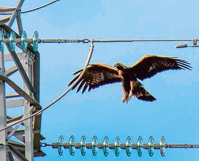 Un águila real se dispone a posarse en el apoyo de un tendido eléctrico
