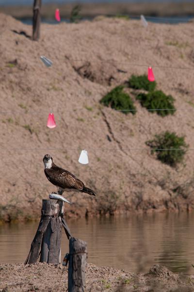 Águila pescadora posada en una zona de piscifactoría de Veta la Palma (Puebla del Río, Sevilla), donde se puede apreciar la señalización para reducir la colisión de las aves. Sobre los efectos de esta señalización no se ha evaluado su efectividad (foto: Rubén Rodríguez Olivares).