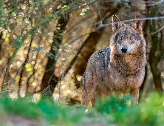 Lobo ibérico fotografiado en condiciones controladas (foto: Ramón Carretero / Shutterstock).