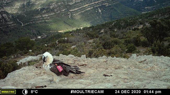 """Imagen de fototrampeo del quebrantahuesos """"Otal"""" hecha el pasado 24 de diciembre. Este macho liberado en noviembre de 2018 parece fijado a su lugar de suelta, el Parque Natural de La Tinença de Benifassà (Castellón)."""