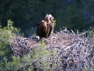 Hembra de buitre negro con su pollo nacido en 2020 en la reserva prepirenaica de Boumort (Lleida)