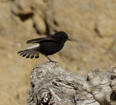 Ejemplar de collalba negra (foto: Pere Josa).