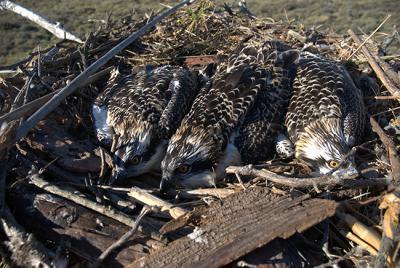 Pollos de águila pescadora en un nido artificial en el Paraje Natural de las Marismas del Odiel, en la provincia de Huelva, donde se lleva a cabo un proyecto de reintroducción de la especie.