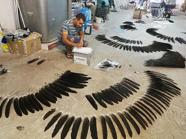 Iván organiza las plumas que conforman el plumaje de un buitre negro en el garaje de su casa en Toledo.