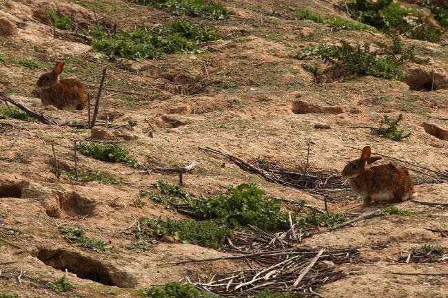 Conejos de monte junto a varias entradas de su madriguera (foto: Alfonso Roldán).