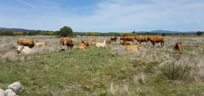 Varias vacas descansan en la veiga de Gomareite, en terrenos de la antigua laguna de Antela, en la provincia de Ourense (foto: Serafín Jesús González Prieto).
