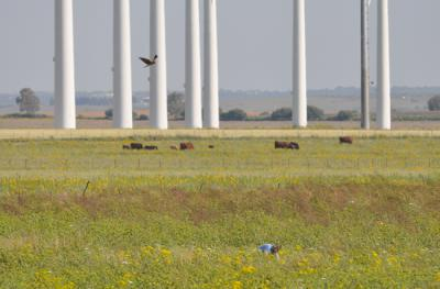 Un aguilucho cenizo vuela junto a los aerogeneradores de un parque eólico en la provincia de Cádiz (foto: Miguel González).