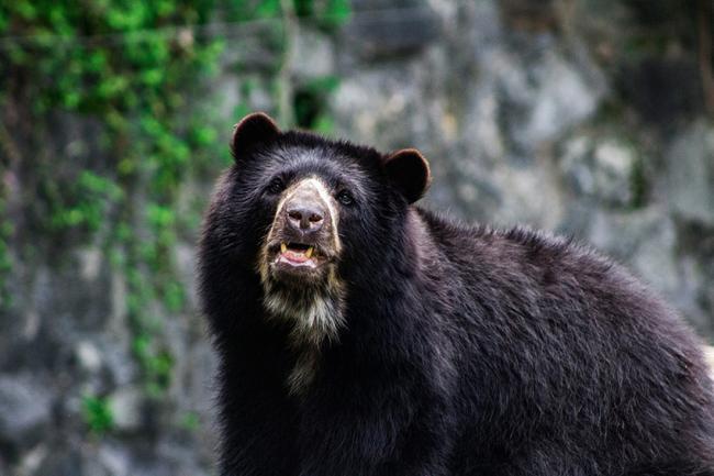 """El oso andino o de anteojos está catalogado como """"Vulnerable"""" en la Lista Roja de la UICN (foto: Valeria Morales / Pixabay)."""