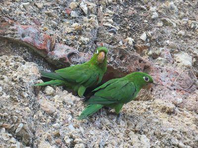 Loros en la República Dominicana: las ciudades salvan especies pero no funciones ecológicas