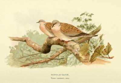 Lámina de una pareja de tórtolas europeas, extraída de Coloured figures of the birds of the British Islands / Lord Lilford.