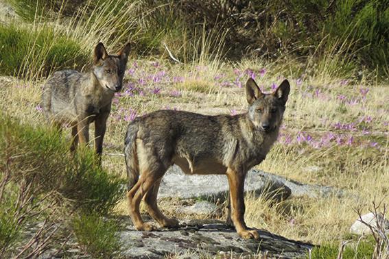 Lobos jóvenes fotografiados en estado salvaje durante un encuentro casual en la sierra de Gredos (Ávila). Foto: Abraham Prieto.