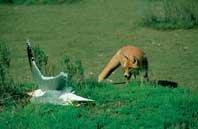 Predación de  carnívoros  sobre  aves acuáticas  en el delta del Ebro