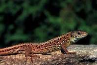 La conservación de los anfibios y reptiles en la España de las  autonomías