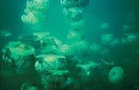 El aumento global  de las medusas y  otros integrantes del plancton gelatinoso