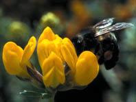 Las flores y sus visitantes: la utilidad  de los modelos matemáticos en ecología