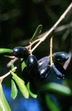 Lo que los árboles del  Guadiamar recuerdan  del vertido de Aznalcóllar