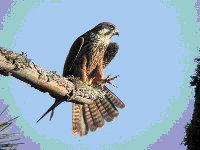 Nuevas citas de halcón de Eleonor en el interior peninsular