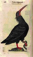 """Ilustración de un ibis eremita procedente de la Ornithologiae (1603) de Ulisse Aldrovandi. Bajo el nombre del autor puede leerse """"Phlacrocorax ex Illyriomillus"""", es decir, """"Phalacrocorax (nombre antiguo del ibis eremita) procedente de Illyria"""" (la actual Croacia"""