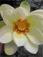 Detalle de una flor de loto sagrado. Entre sus grandes pétalos blancos destaca el receptáculo o carpóforo de color amarillo, rodeado de estambres (foto: José Antonio López Sáez).