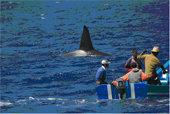 Orcas y atunes en el estrecho de Gibraltar
