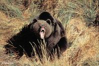 Macho de oso pardo (foto: Carlos Sanz).
