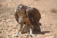 Águila perdicera: hacia una estrategia de conservación global