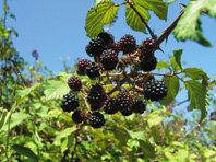 ¿Quién siembra los arbustos en Doñana?