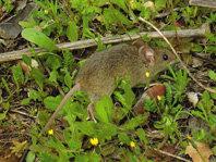 Los ratones morunos aprenden a seleccionar las bellotas sanas